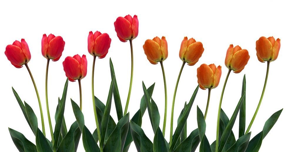 NL Tulips